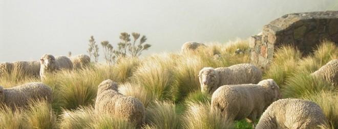 lamb-nz.jpg
