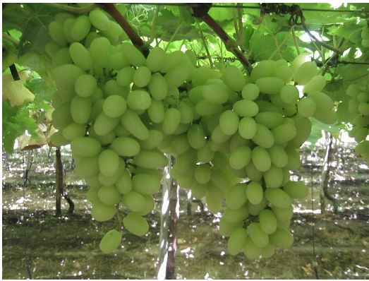 Credited: vwhite grape seedless - ds expoert